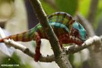 Panther chameleon (Furcifer pardalis) [madagascar_herps_0077]