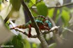 Panther chameleon (Furcifer pardalis) [madagascar_herps_0078]