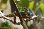 Panther chameleon (Furcifer pardalis) [madagascar_herps_0079]