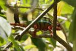 Panther chameleon (Furcifer pardalis) [madagascar_herps_0080]
