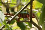 Panther chameleon (Furcifer pardalis) [madagascar_herps_0081]