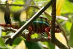 Panther chameleon (Furcifer pardalis) [madagascar_herps_0082]