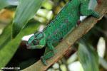 Panther chameleon (Furcifer pardalis) [madagascar_herps_0083]