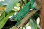 Panther chameleon (Furcifer pardalis) [madagascar_herps_0084]