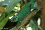 Panther chameleon (Furcifer pardalis) [madagascar_herps_0085]