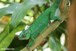 Panther chameleon (Furcifer pardalis) [madagascar_herps_0086]