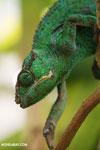 Panther chameleon (Furcifer pardalis) [madagascar_herps_0087]