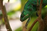Panther chameleon (Furcifer pardalis) [madagascar_herps_0089]