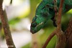 Panther chameleon (Furcifer pardalis) [madagascar_herps_0090]