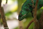 Panther chameleon (Furcifer pardalis) [madagascar_herps_0092]