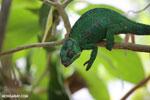Panther chameleon (Furcifer pardalis) [madagascar_herps_0094]