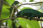 Panther chameleon (Furcifer pardalis) [madagascar_herps_0095]
