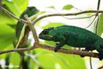Panther chameleon (Furcifer pardalis) [madagascar_herps_0096]