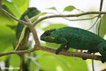 Panther chameleon (Furcifer pardalis) [madagascar_herps_0097]