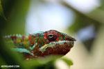 Panther chameleon (Furcifer pardalis) [madagascar_herps_0098]