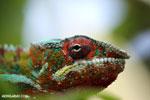 Panther chameleon (Furcifer pardalis) [madagascar_herps_0099]