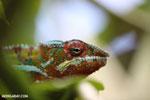 Panther chameleon (Furcifer pardalis) [madagascar_herps_0101]