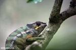 Panther chameleon (Furcifer pardalis) [madagascar_herps_0107]