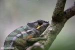 Panther chameleon (Furcifer pardalis) [madagascar_herps_0108]
