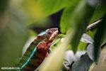 Panther chameleon (Furcifer pardalis) [madagascar_herps_0110]