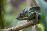 Panther chameleon (Furcifer pardalis) [madagascar_herps_0114]