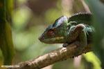 Panther chameleon (Furcifer pardalis) [madagascar_herps_0116]