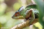 Panther chameleon (Furcifer pardalis) [madagascar_herps_0117]