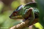 Panther chameleon (Furcifer pardalis) [madagascar_herps_0118]