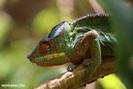 Panther chameleon (Furcifer pardalis) [madagascar_herps_0119]
