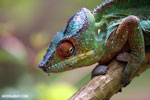 Panther chameleon (Furcifer pardalis) [madagascar_herps_0120]