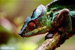 Panther chameleon (Furcifer pardalis) [madagascar_herps_0121]