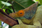 Parson's chameleon (Calumma parsonii) [madagascar_herps_0124]