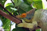 Parson's chameleon (Calumma parsonii) [madagascar_herps_0126]