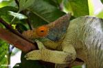 Parson's chameleon (Calumma parsonii) [madagascar_herps_0127]
