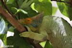 Parson's chameleon (Calumma parsonii) [madagascar_herps_0132]