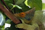 Parson's chameleon (Calumma parsonii) [madagascar_herps_0133]