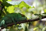 Parson's chameleon (Calumma parsonii) [madagascar_herps_0136]
