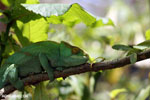 Parson's chameleon (Calumma parsonii) [madagascar_herps_0137]