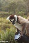Ring-tailed lemur (Lemur catta) climbing on a camera lens
