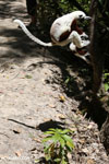Jumping sifaka [madagascar_lemurs_0003]
