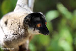 Common brown lemur (Eulemur fulvus) [madagascar_lemurs_0009]