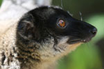 Common brown lemur (Eulemur fulvus) [madagascar_lemurs_0011]