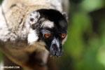 Common brown lemur (Eulemur fulvus) [madagascar_lemurs_0013]