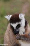 Ring-tailed lemur (Lemur catta) [madagascar_lemurs_0014]