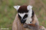 Ring-tailed lemur (Lemur catta) [madagascar_lemurs_0015]