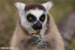 Ring-tailed lemur (Lemur catta) [madagascar_lemurs_0016]
