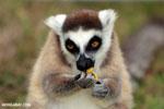 Ring-tailed lemur (Lemur catta) [madagascar_lemurs_0018]