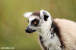 Ring-tailed lemur (Lemur catta) [madagascar_lemurs_0021]