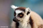 Ring-tailed lemur (Lemur catta) [madagascar_lemurs_0027]