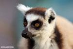 Ring-tailed lemur (Lemur catta) [madagascar_lemurs_0028]